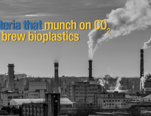 Bacteria that munch on CO2 and brew bioplastics